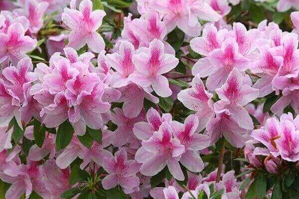 Azaléia planta ornamental