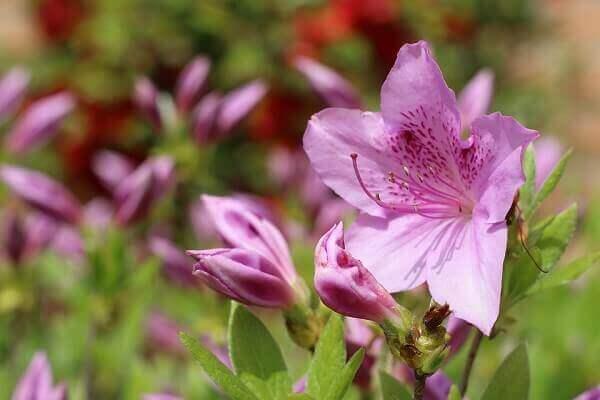 Azaléia planta