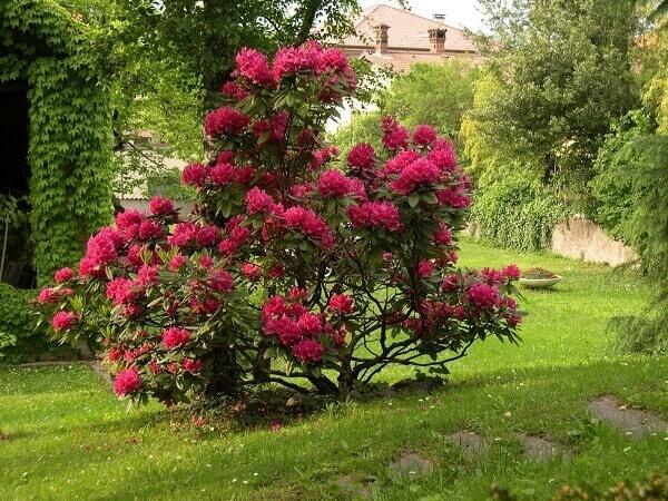 Azaléia plantada em quintal