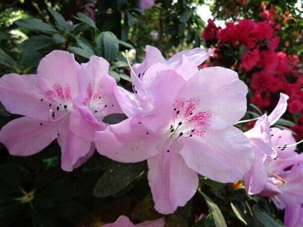 Azaléia plantada no jardim