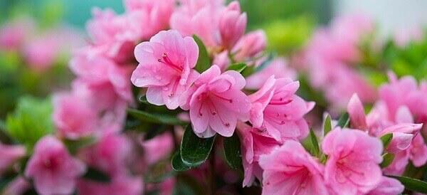 Azaléia rosa em jardim