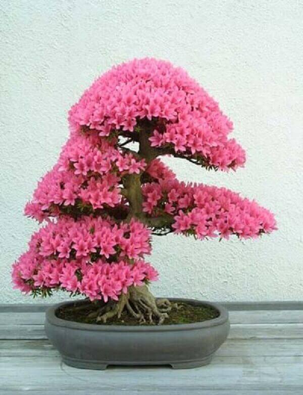 Azaléia rosa no vaso de bonsai