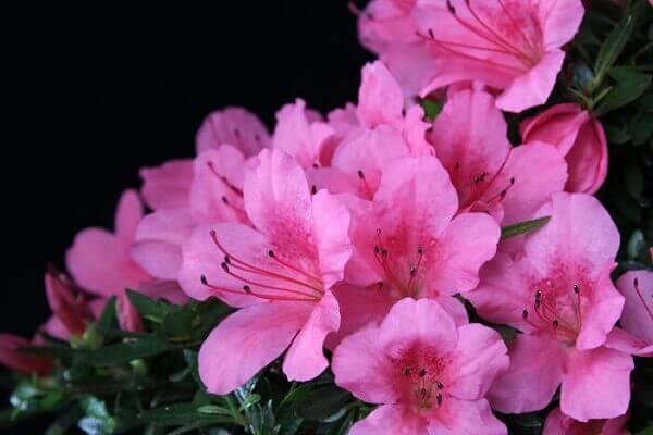 Azaléia rosa