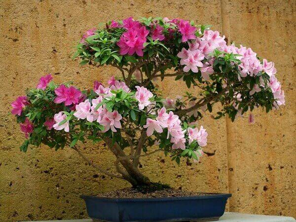 Azaléia tipo bonsai