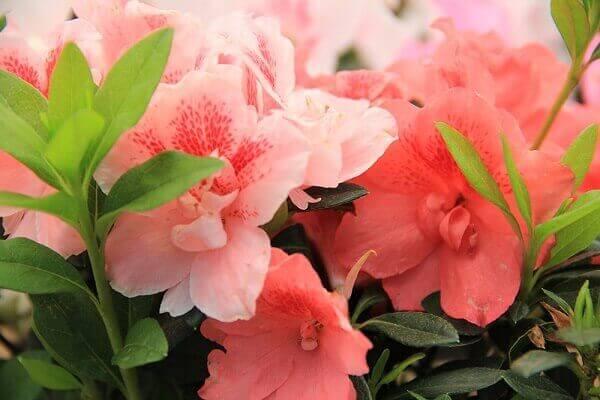Azaleia decora o jardim