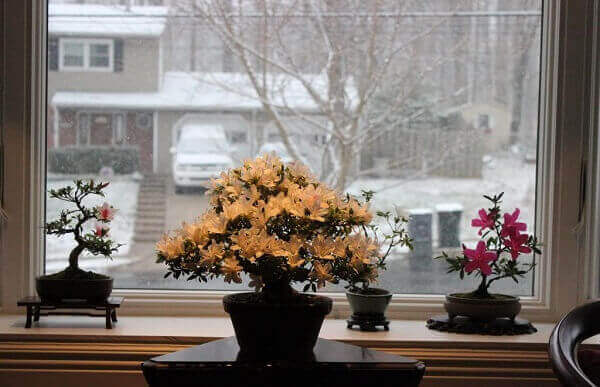 Azaleia na janela