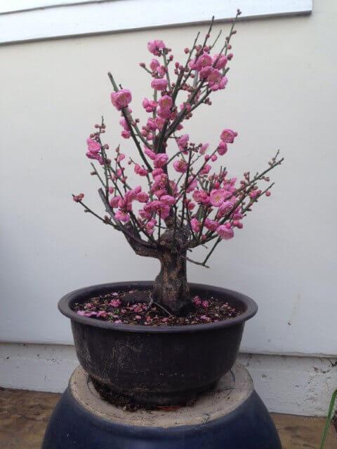 Bonsai com flores cor de rosa Foto de Camaioni