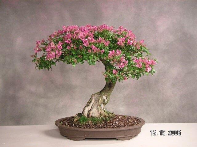 Bonsai com folhas cor de rosa Foto de The Pinsta