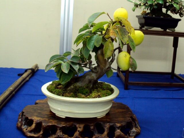 Bonsai com frutas Foto de YouTube