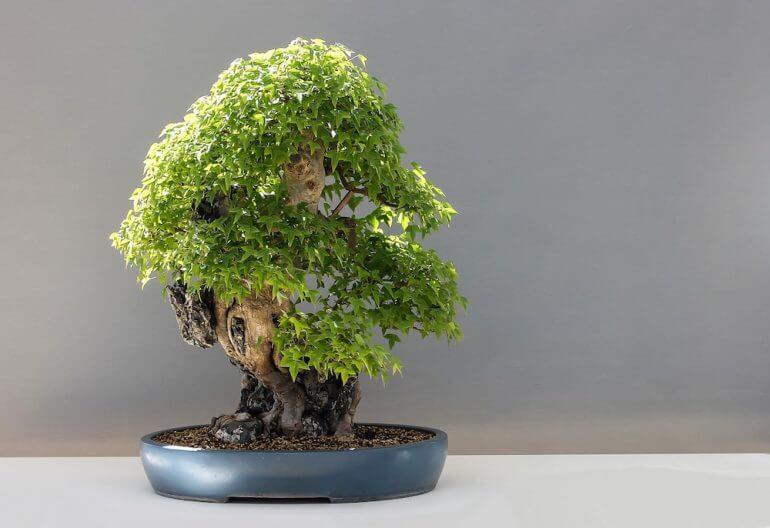 Bonsai com tronco grosso e folhas diferentes Foto de Muy Interesante