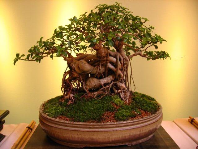 Bonsai com tronco retorcido e copa com poucas folhas Foto de Bonsai Tree Gardener