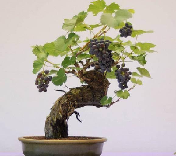 Bonsai de frutas com uvas