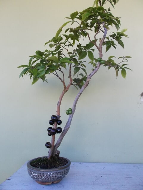 Bonsai de jabuticaba Foto de Bonsai Empire
