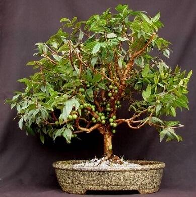 Bonsai de jabuticaba ainda verde Foto de Pinterest