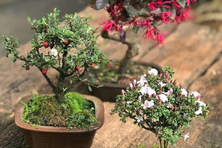 Diferentes flores e frutas podem ser cultivados em forma de Bonsai. Fonte: Pinterest