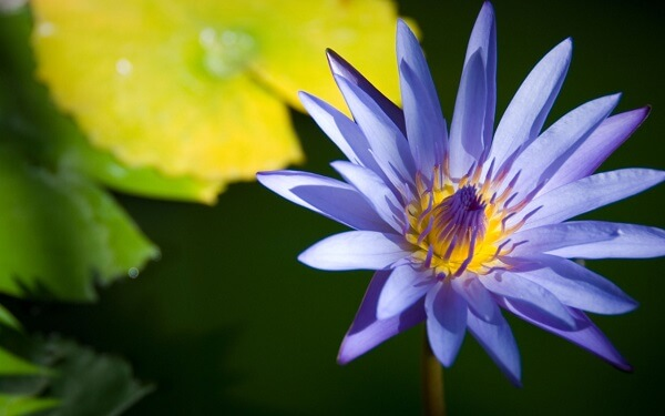 Flor de lótus azul rara