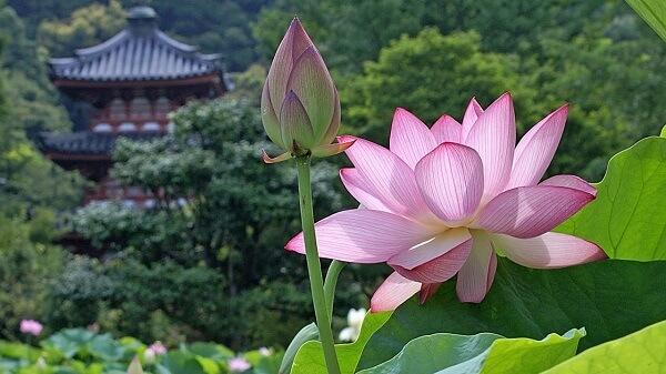 Flor de lótus cor de rosa