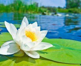 Flor de lótus em rio