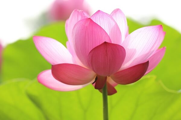 Flor de lótus fechada