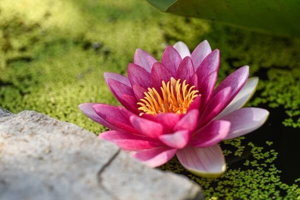Flor de lótus rosa na água