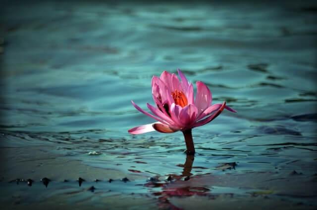 Flor de lótus simbolismos