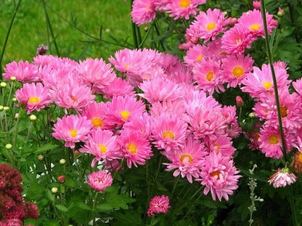 Flores lindas áster rosa