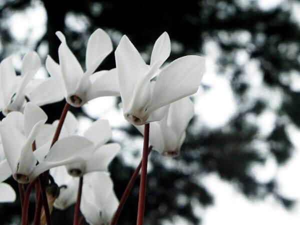 Flores lindas Cyclamen