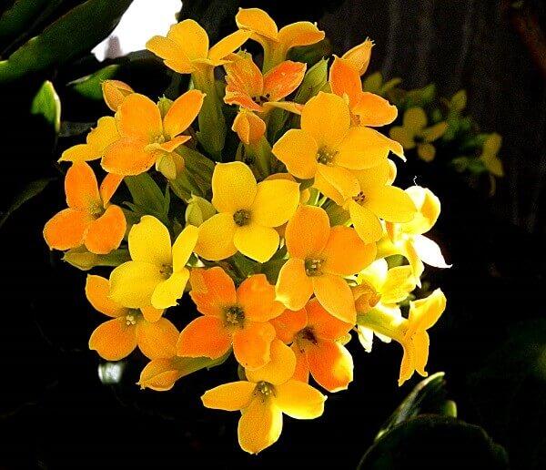 Flores lindas Flor da Fortuna kalanchoe blossfeldiana poelln