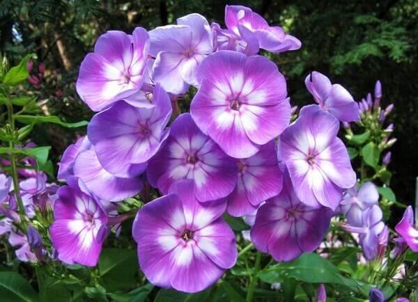Flores lindas Flox