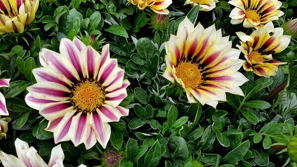 Flores lindas Gazania