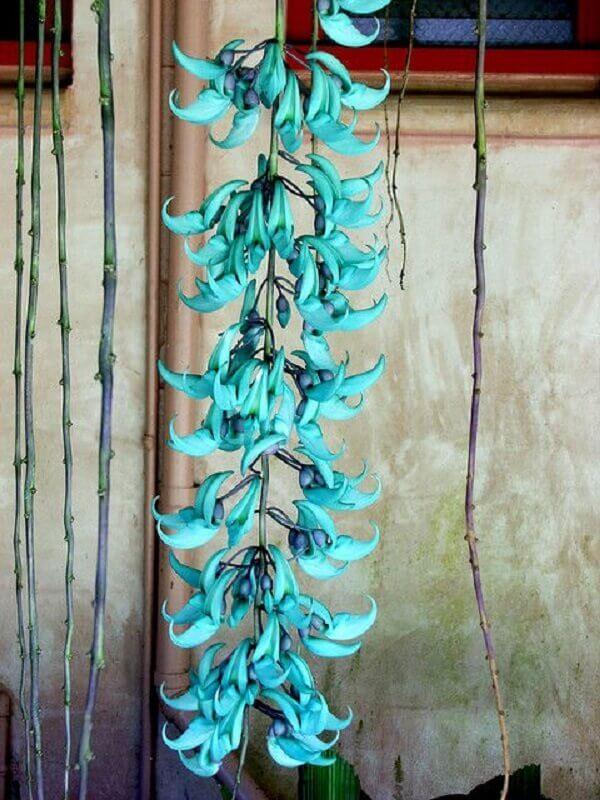 Flores lindas Jade Vine rara