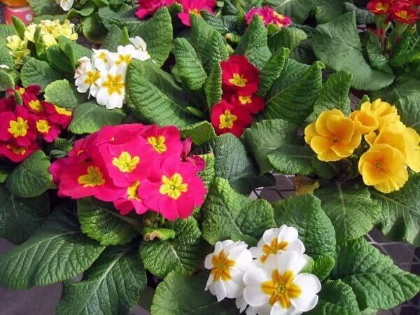 Flores lindas Prímula