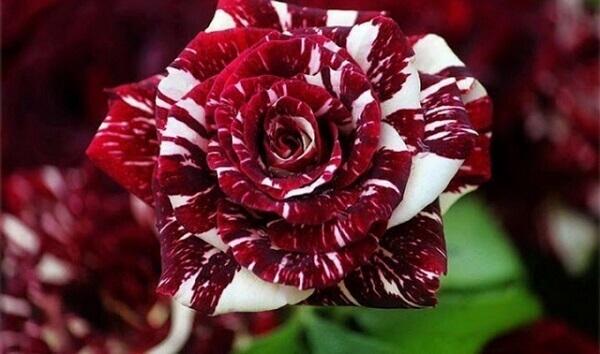 Flores lindas Rosa Osiria