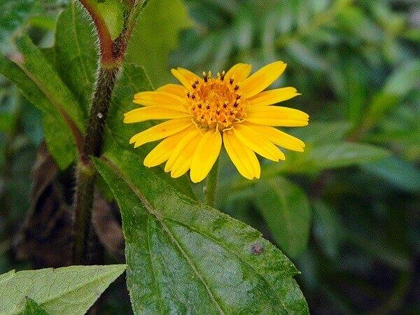 Flores lindas Vedélia