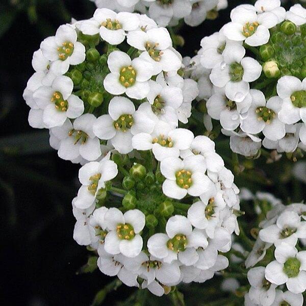 Flores lindas alisso