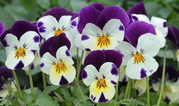 Flores lindas amor perfeito