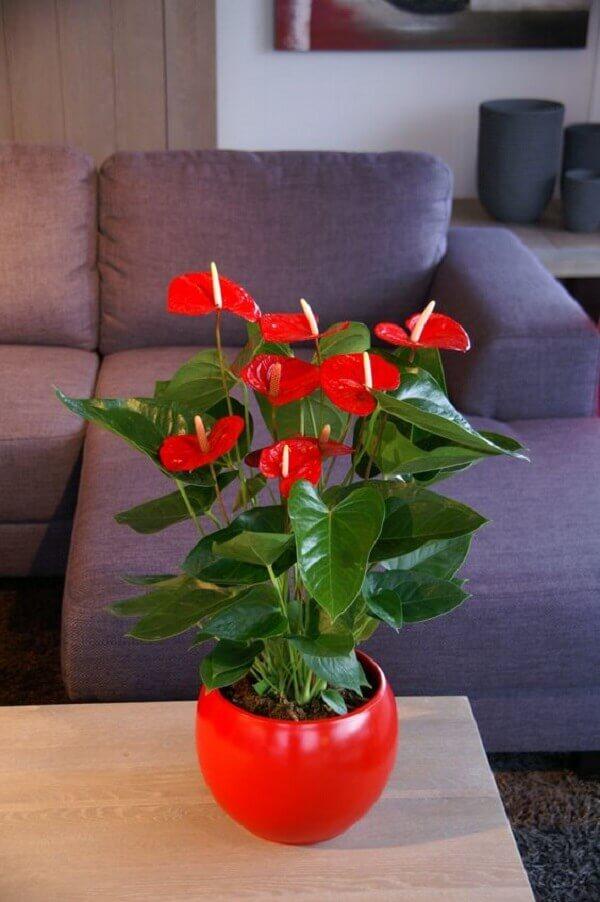 Flores lindas antúrio vermelho no vaso