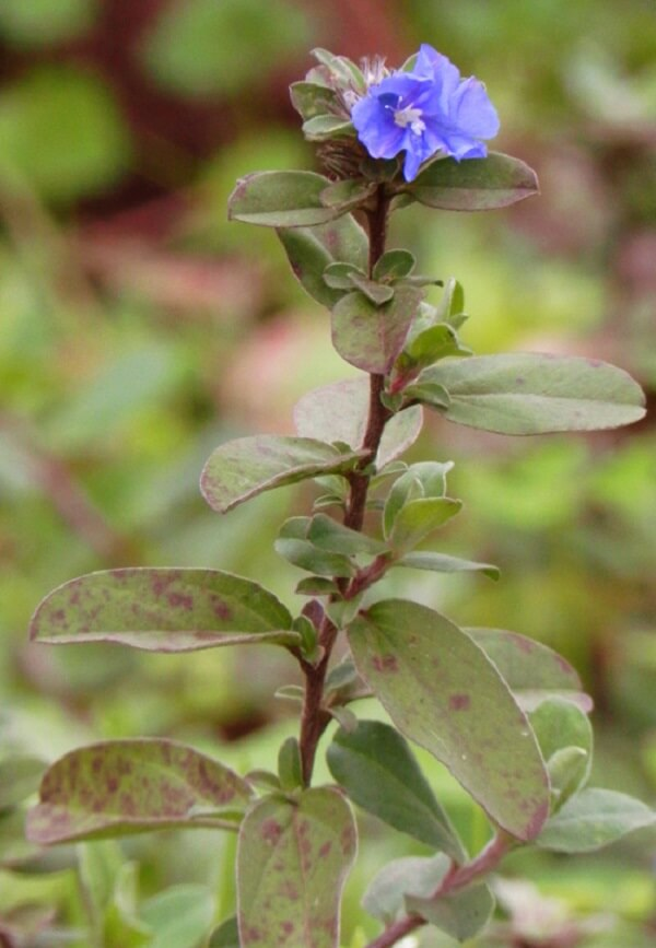 Flores lindas azulzinha