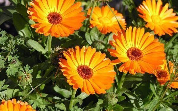 Flores lindas calendula