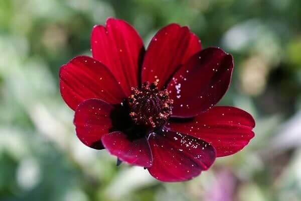 Flores lindas chocolate cosmos