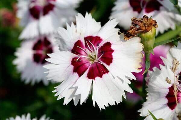 Flores lindas cravina