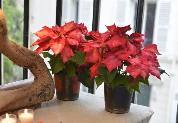 Flores lindas em vaso bico de papagaio rara