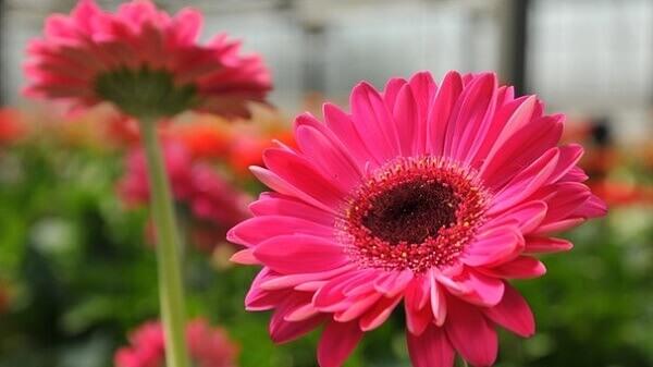 Flores lindas gérbera