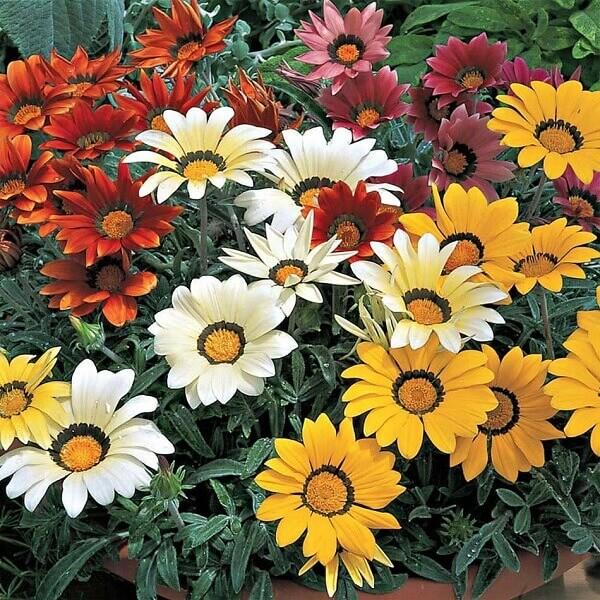 Flores lindas gailárdia