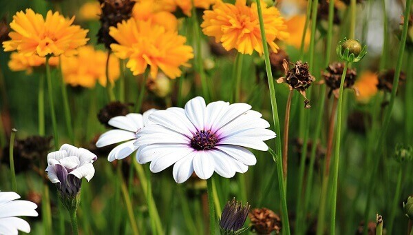 Flores lindas margarida