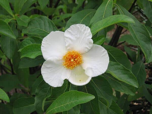 Flores lindas raras árvore franklin