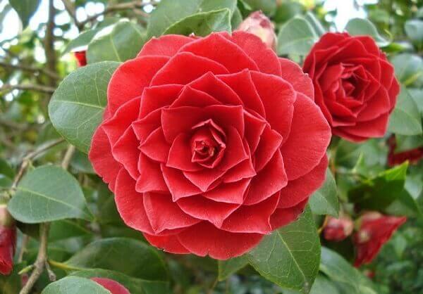 Flores lindas raras Middlemist Vermelha