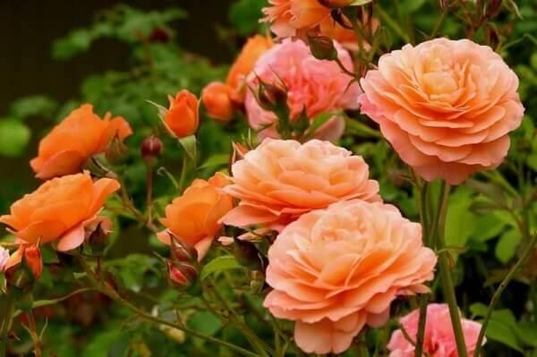 Flores lindas rosa miniatura
