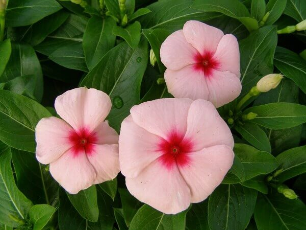 Flores lindas vinca