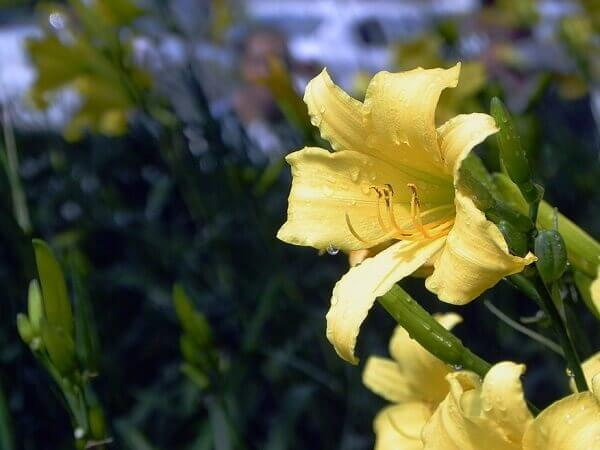 Flores linhas lírio amarelo